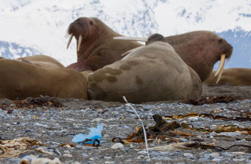 Ocean pollution on the beach near walruses