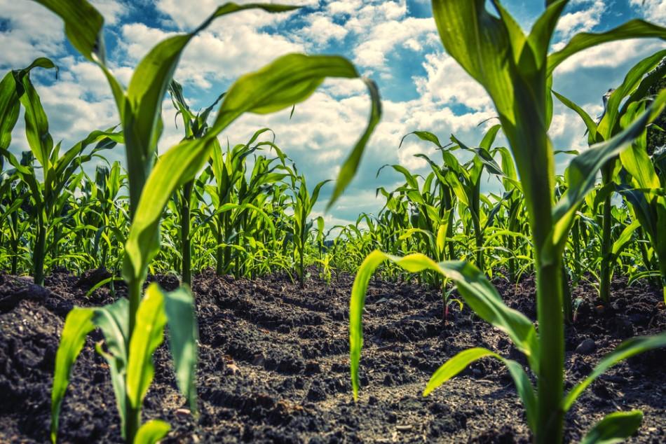 Corn has deep roots